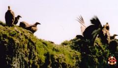 vautours-fauves-.jpg